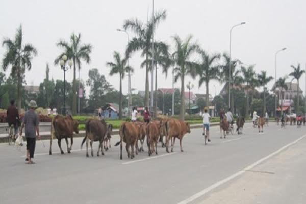 """Những con bò lang thang trên đường du lịch ven biển sẽ bị bắt nhốt đưa vào """"trại tạm giam"""" dành cho bò chờ xử lý."""