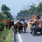 Đại lộ Thăng long tràn ngập trâu bò đi lại