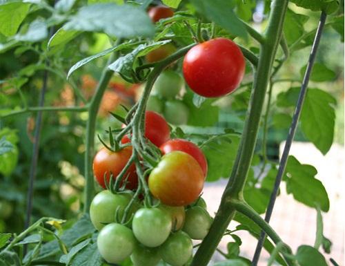 Cà chua có công dụng làm đầy sẹo lõm rất tốt